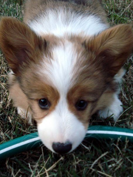 A corgi puppy lays down with her head on a garden hose