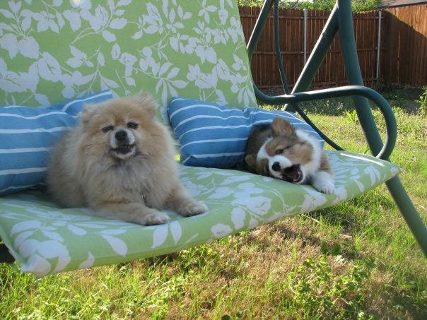 A mature Pomeranian and a baby Corgi on a lawn chair