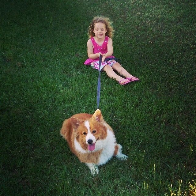 A Corgi on a leash with a young girl, both are sitting on grass